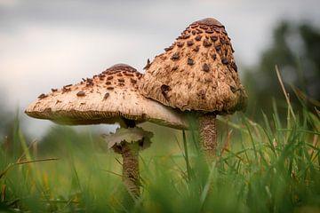 Mushroom parasol mushroom van Marielle Govers