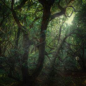Eigenzinnige Ocotea Foetens van Joris Pannemans - Loris Photography
