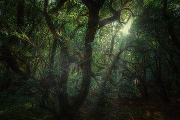 Schrulliger Ocotea Fetens von Joris Pannemans - Loris Photography