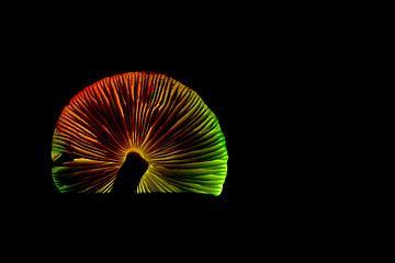 Disco-Pilz von Rob Bergman