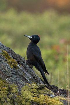 Schwarzspecht ( Dryocopus martius ) von wunderbare Erde