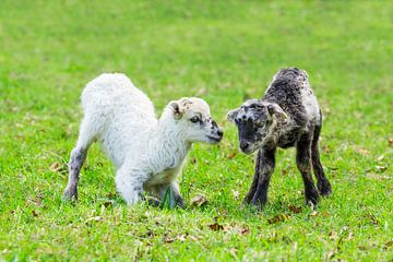 Twee pasgeboren lammetjes spelen samen in groene wei tijdens de lente van Ben Schonewille