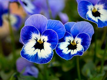 Stiefmütterchen blau von Martin Haunhorst