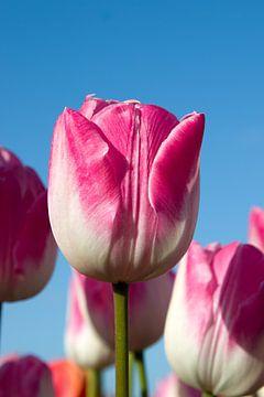 Roze tulp tussen roze tulpen sur W J Kok