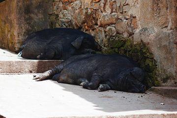 Slapende varkens in de schaduw von André van Bel