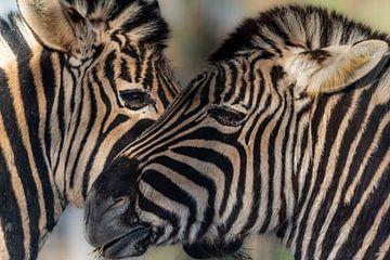 Zebra in het ochtendlicht von Rob Bout