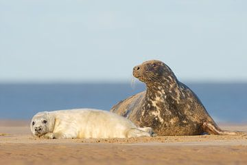 Moeder en pup Grijze zeehond op het strand van Jeroen Stel