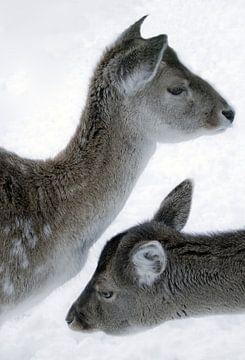 Foto van 2 herten in de sneeuw. van Therese Brals