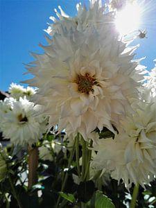 Witte bloem van Sharon vD