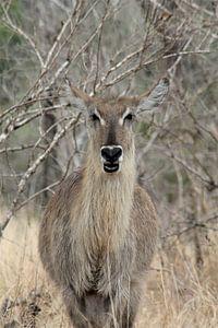 Kudu in Afrika von Christiaan Van Den Berg