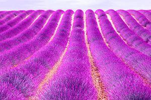 Een felle lavendel uit provence van