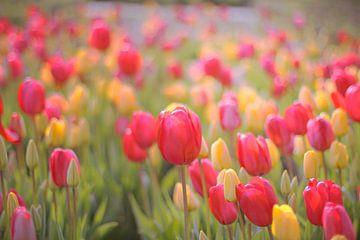 Tulpen veld van Marianna Pobedimova