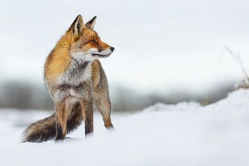 Beauty in the snow sur Pim Leijen