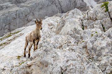 Gämse in den slowenischen Alpen von J Y