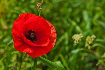 Blooming Poppy von Roland Sloots