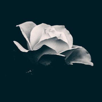 Roos als Kunst von By Foto Joukje