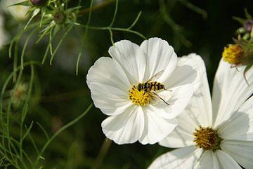 Bijtje op witte bloem von Lotte Veldt