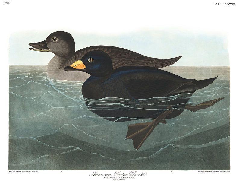 Amerikaanse Zee-Eend van Birds of America