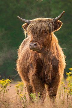 Schotse Hooglander van Jacco van Son