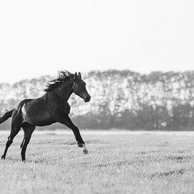 Paard galloppeerd door de wei in Friesland in zwart wit van Maria-Maaike Dijkstra