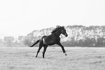 Paard galoppeert door de wei in Friesland in zwart wit