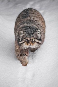 Gaat rechtdoor over een besneeuwd pad. Ernstige, wrede, pluizige, wilde kattenmanoeuvre op witte sne van Michael Semenov