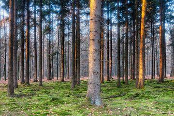 Naaldbomen aangelicht door laaghangende zon van
