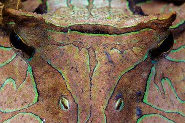 Amazon horned frog (Ceratophrys cornuta) von
