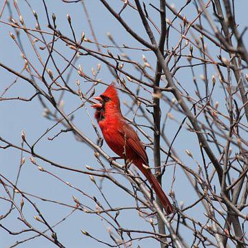 De rode kardinaal zingt van Jacintha Van beveren