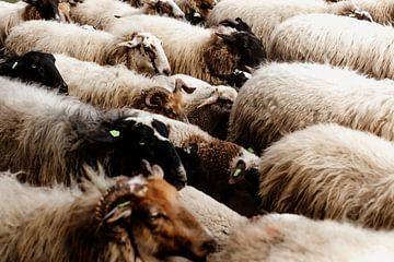 Kudde schapen in Drenthe van Laura