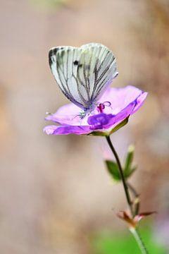 Vlinder op een paarse geranium van Jessica Berendsen