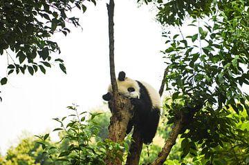Lazy  panda van