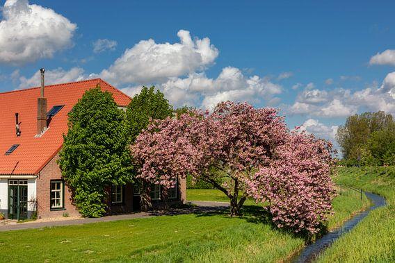 Boerderij met prunus in bloei