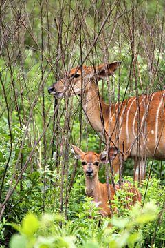 kudu van Lotte van Dulmen