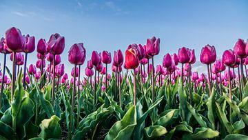 tulpen bij ondergaande zon 03 van Arjen Schippers