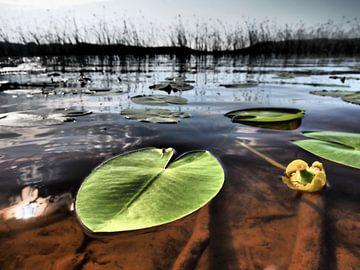 Waterlelie van Wendy Drent