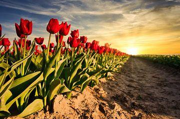Tulpen bei Sonnenuntergang von Jim Looise