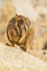 Felswallaby in Australien II