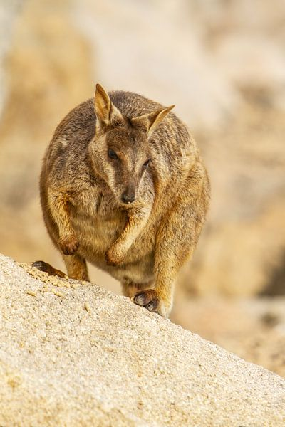 Rock wallaby in Australie II van Geke Woudstra