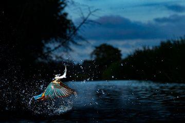 Eisvogel fängt Fische während der Blauen Stunde. von Jeroen Stel