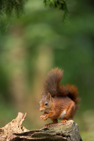 Red Squirrel  von Menno Schaefer