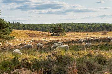 Schafherde auf der Heide von Hoog Soeren von Cor de Hamer