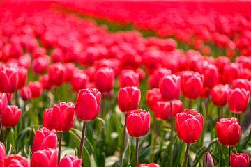 Floraison de tulipes rouges et roses dans un champ pendant une belle journée de printemps sur