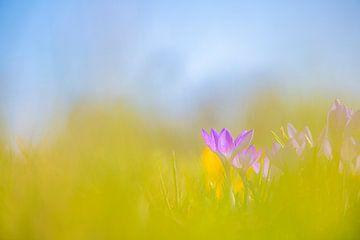 Krokus im Gras versteckt von Yolanda Wals