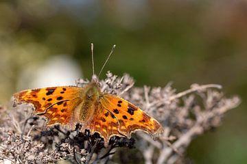 Polygonia c-album (Komma) Schmetterling von Digikhmer