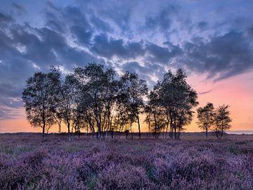 Rij van berken bomen op een paars bloeiende heater van Tony Vingerhoets