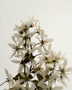 krentenboompje (bloesem)