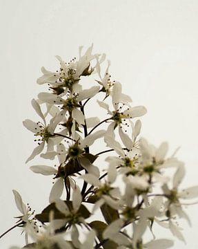 krentenboompje (bloesem) von Eugene Lentjes