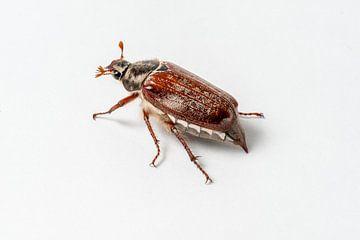 Meibug van Ingo Gerlach