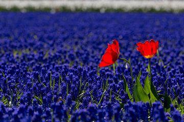 Nederlands bollenveld in rood-wit-blauw van Mayra Pama-Luiten